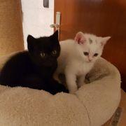 BKH Kitten Babykatzen renrassig