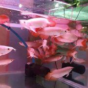 Qualität Arowana Fisch zu Verkaufen