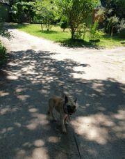 Franz Bulldoggen Weibchen sucht