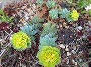 Blumen Stauden Bodendecker Raritäten Steingarten
