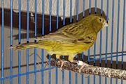 2 grüne Kanarienvogel Hähne von