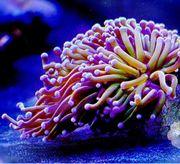 Euphyllia Golden Torch Meerwasser Koralle
