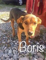 Rüde Boris sucht erfahrenes Zuhause