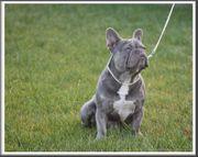 Französische Bulldogge Deckrüde lilac trindle