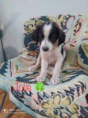Welpenmädchen Jolie sucht ihr Zuhause