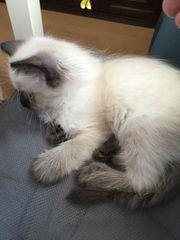 BKH Perser Mischling Kitten Baby