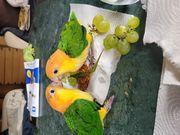 Rostkappen papagei handzahm