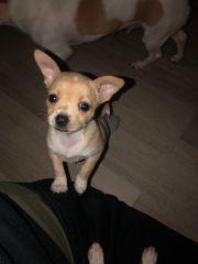Chihuahua Welpen reinrassig groß