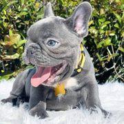 registrierte französische Bulldoggenwelpen