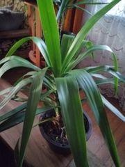 Palme Yucca ca 77 cm