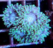 Korallen LPS Weichkorallen SPS