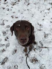 Labrador deckrüde Darkschoko