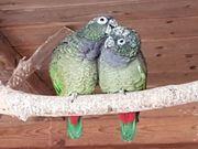 1 1 Maximilian Papageien abzugeben