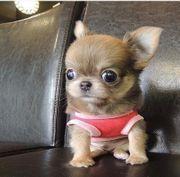 Suche kleines Chihuahua Mädchen Welpen