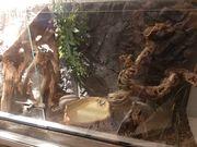 Kornnatterpaar mit Terrarium abzugeben