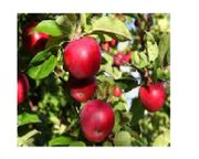 Obstwiese mit vielen Apfelbäumen zu