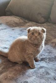 BKH Scottish Fold Kitten abzugeben
