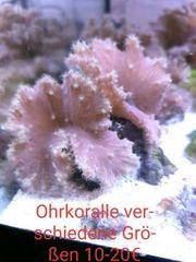 Diverse Meerwasser Korallenableger und Korallen