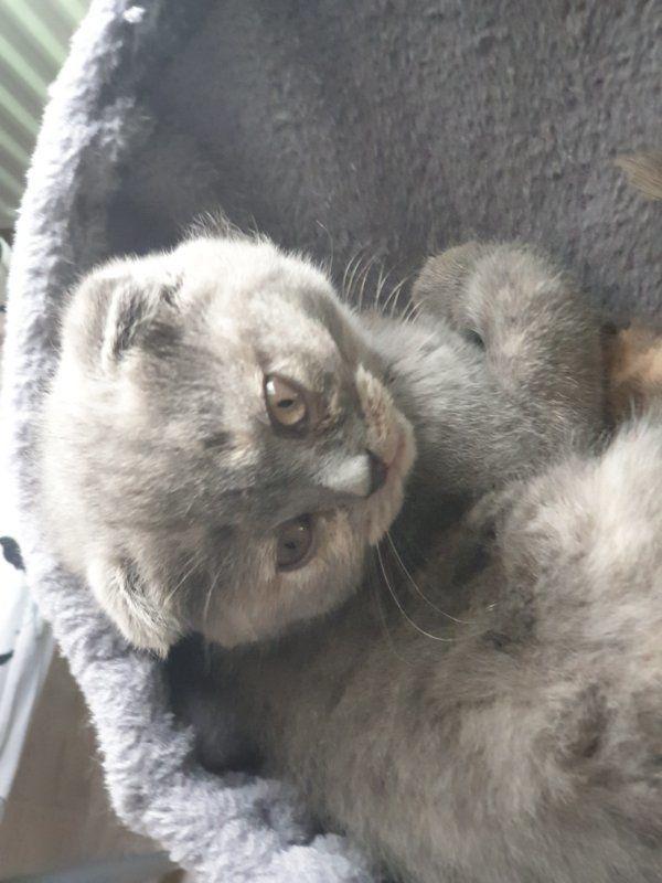 Scottisch Fold Kitten Baby Weibchen