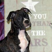 Boxer Englische Bulldogge Mix Welpen