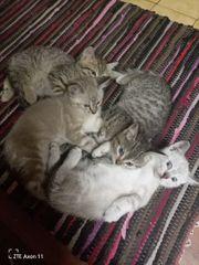Edelmix Kitten Bengal x Siam