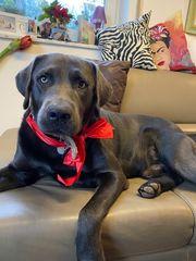 Labrador Deckrüde charcoal kein Verkauf