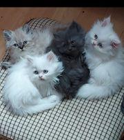 persische kittens