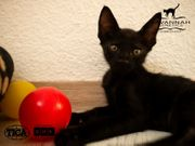 F5 SBT Savannah Kitten - Noch