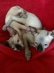Canadian Sphynx Kitten reinrassig BLAUE