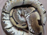 Königspython Python Regius weiblich spider