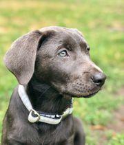 Labrador Junghunde vom Kastanienhof