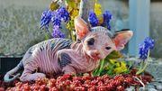Kanadisches Sphynx Kitten zu verkaufen