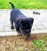 New Englisch Bulldogge mit Ahnentafel