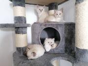 Reinrassige Ragdoll-Kitten
