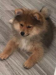 Zwergspitz PomeranianJungtier