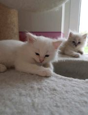 Ragdoll Katzenbabys Kitten