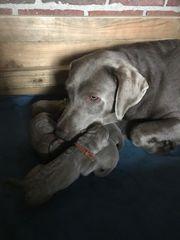 Silberne Labradore