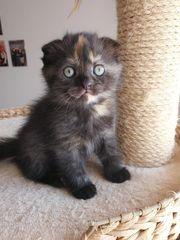 BKH Kitten Scottish Fold noch