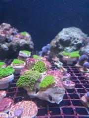 Verschiedene Meerwasser Korallen Ableger