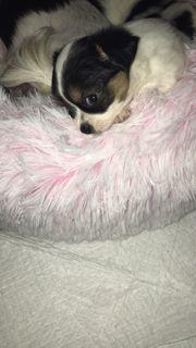 Chihuahua Welpe sucht sein zuhause