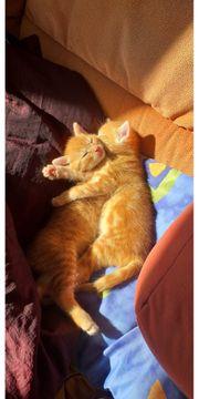 Verkaufe junge Kätzchen 12 Wochen