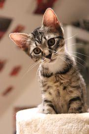 Maxi Kitten Kätzchen Katze Katzenbaby