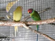 Pflaumenkopfsittiche-Mutation übergossen