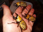 Dynastes tityus Käfer Larven L2