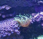crassa anemone
