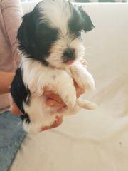 Hunde Welpen Malteser-Shizu