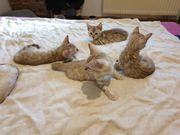 Bengal Kitten mit Tica Stammbaum