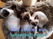 Reinrassige Siam Kätzchen suchen liebevolles