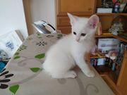 weise kitten 12 Wochen jung