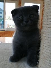 53 süße Katzenbaby BKH Scottish